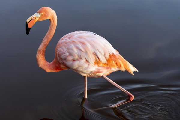 Flamingo standing in water.