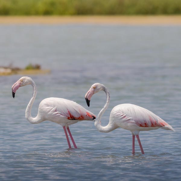 Flamingos standing in water.
