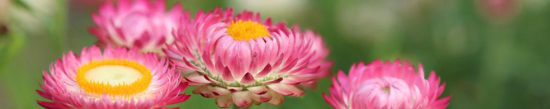 Pink flowers in bloom.