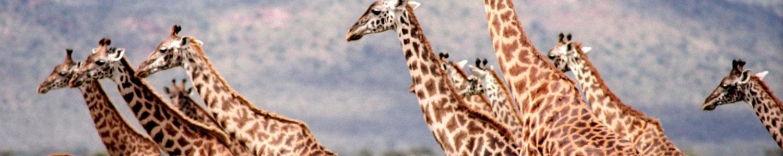 Giraffes running.