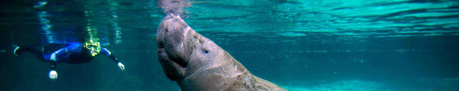 Manatee in the water with scuba diver near by.